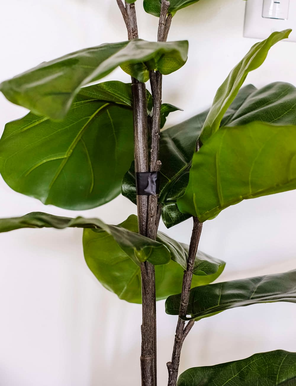 fiddle leaf fig branches taped together